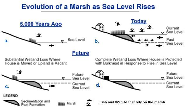 evolution of the marsh as sea level rises